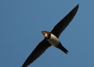 Alpensegler Vogelwarte