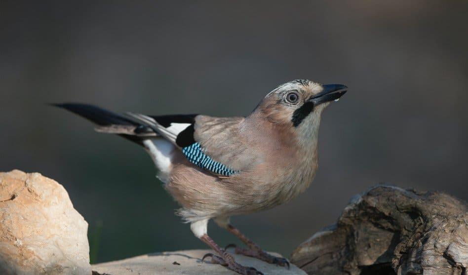 Eichelhäher: Vogel mit Elefantengedächtnis