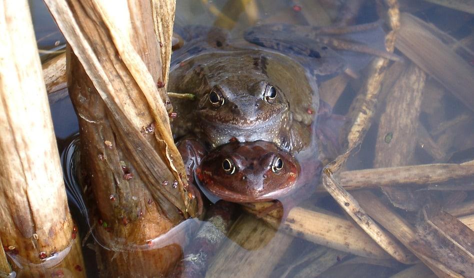 Amphibienhochzeit am Haldenweiher Zofingen