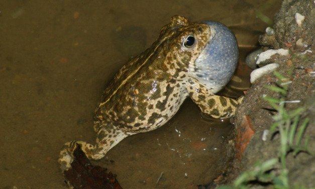 Amphibienkonzert in der Kiesgrube